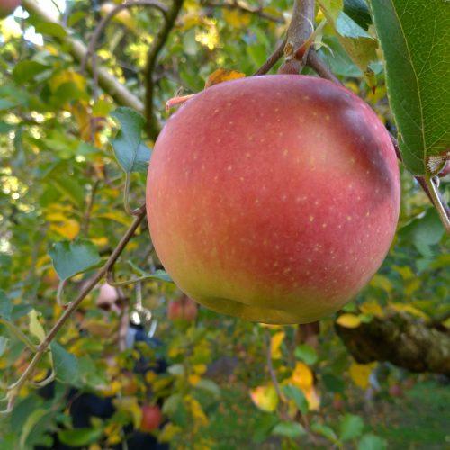 イベントレポート:りんご狩り
